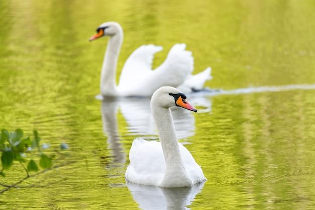 Weiße schwäne auf grünem seewasser, das das laub an sonnigem tag reflektiert, schwäne auf teich