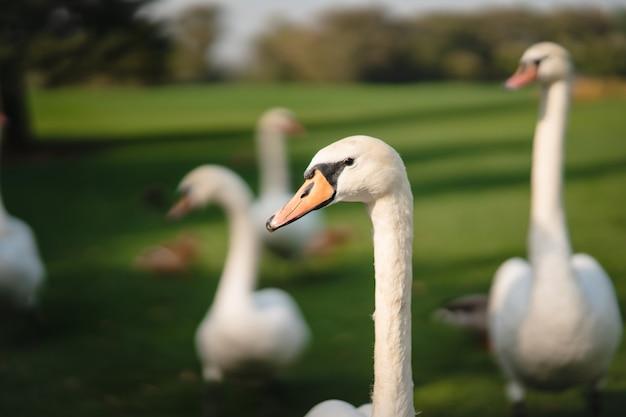 Weiße schwäne, die auf dem grünen gras im park ruhen.