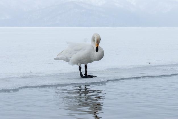 Weiße schwäne, die im nicht gefrierenden wintersee in japan stehen