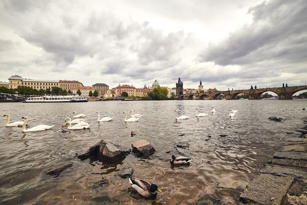 Weiße schwäne in prag an der moldau neben der karlsbrücke, tschechische republik
