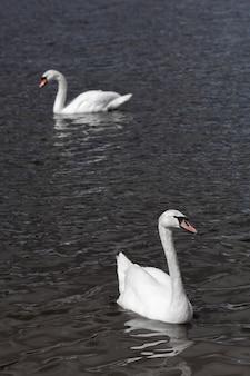 Weiße schwäne schwimmen und suchen nahrung unter wasser im see. schöner wilder schwanenvogel, der auf der wasseroberfläche schwimmt und füttert