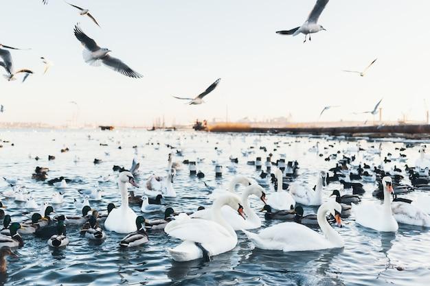 Weiße schwäne, wildenten und möwen, die im winter im meerwasser schwimmen. fliegende möwen. vögel überwintern kalt. menschen erhaltung der vögel