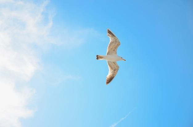 Weiße seemöwe, die im blauen himmel, seemöwenfliegen ansteigt.