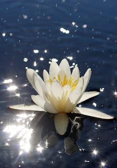 Weiße seerose mit gelbem kern in einem see mit hellen glanzlichtern auf dem wasser, blumenkonzept