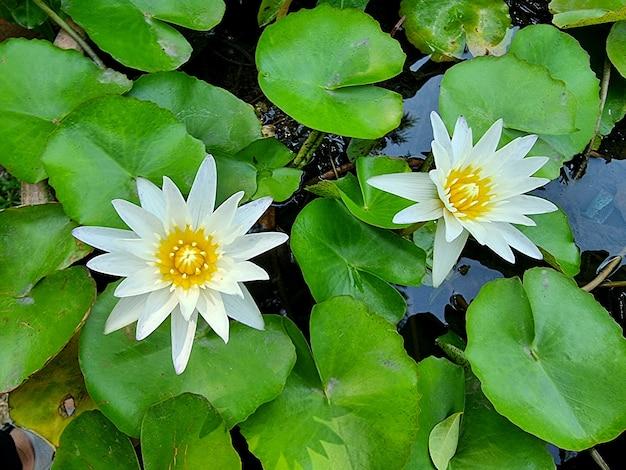 Weiße seerose oder lotusblume mit grünem blatt im teich