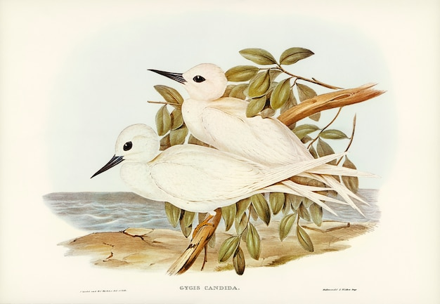 Weiße seeschwalbe (gygis candida) illustriert von elizabeth gould