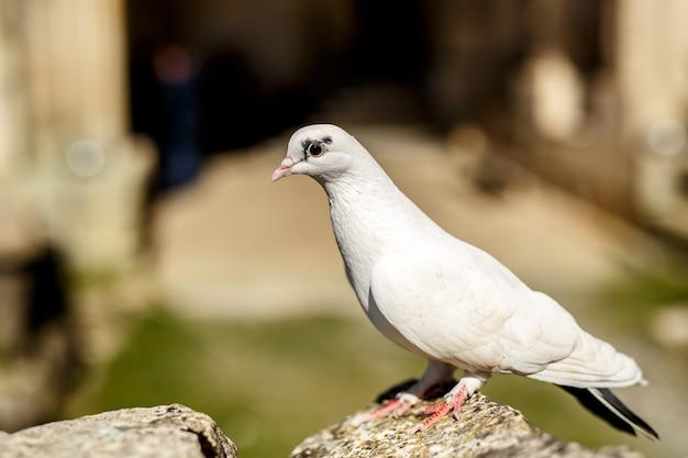 Weiße taube auf stein zur sommerzeit im freien