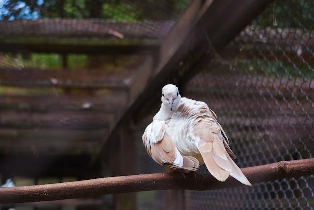 Weiße taube, die auf niederlassung im zoo sitzt. tauben in einem käfig