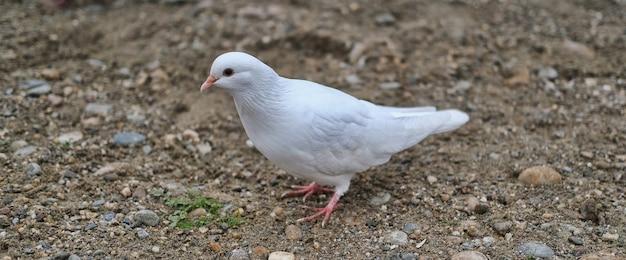 Weiße taube, die auf steinigem nassem boden steht