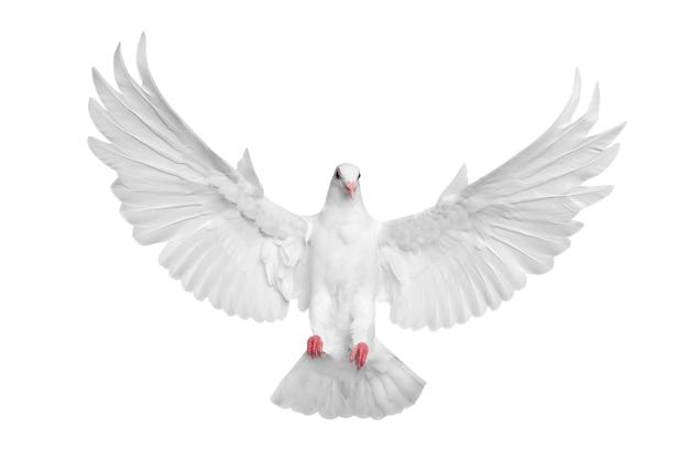 Weiße taube fliegt lokal über weißem hintergrund