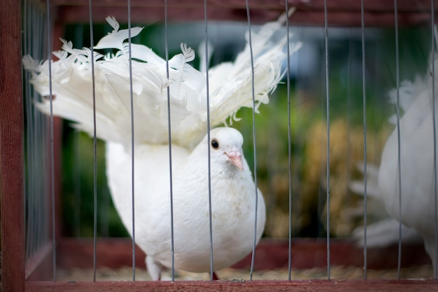 Weiße taube in einem käfig.
