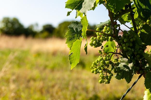 Weiße trauben in den weinbergen der istrischen landschaft
