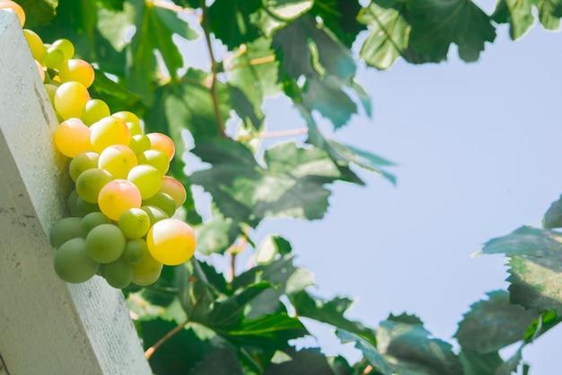 Weiße trauben (pinot blanc) im weinberg