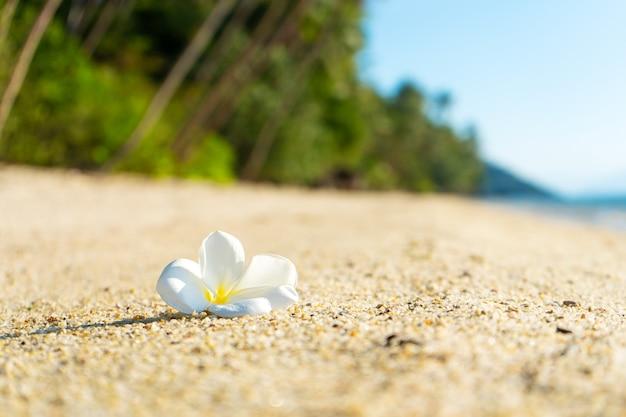 Weiße tropische frangipani-blume auf einem verlassenen strand. paradies tropische insel direkt am meer