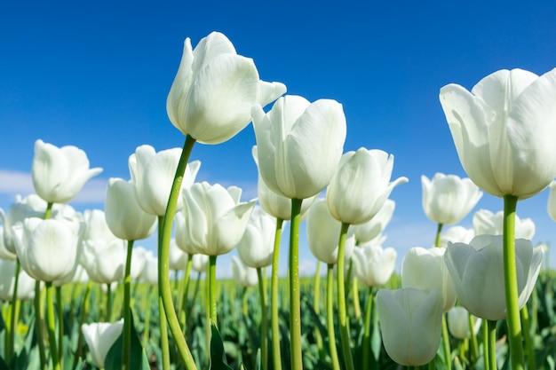 Weiße tulpen auf blauem himmel des hintergrundes. frische frühlingskomposition