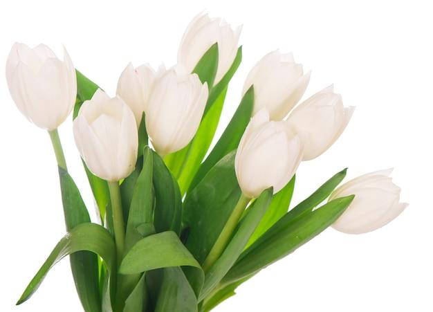 Weiße tulpen lokalisiert auf dem weißen hintergrund