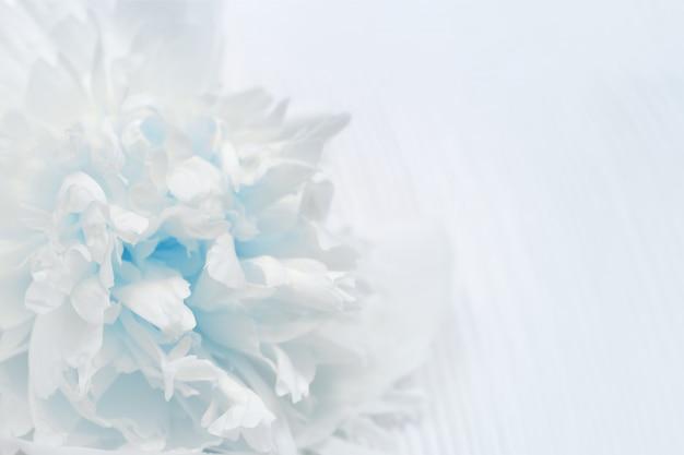 Weiße und blaue blumenblätter der blumennahaufnahme.