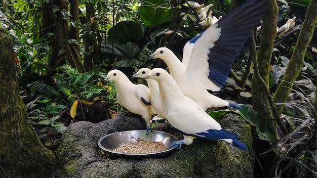 Weiße und blaue wilde hungrige tauben, die von der schüssel essen