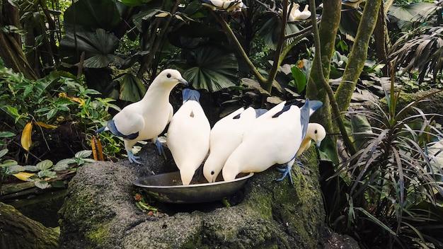 Weiße und blaue wildtauben fressen aus der schüssel gegen dichte tropische regenwälder. fütterung der taube