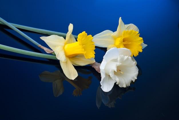 Weiße und gelbe narzisse auf blauer oberfläche