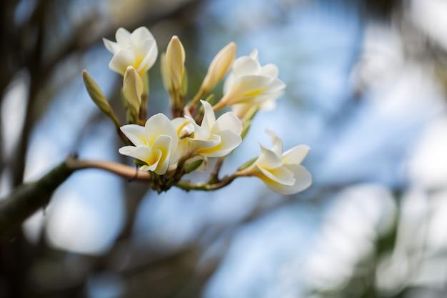 Weiße und gelbe plumeria blüht auf einem baum