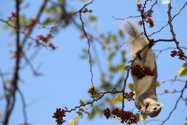 Weiße und graue farbe des netten eichhörnchens, die rote blumen des lebensmittels auf baummarke mit hintergrund des blauen himmels isst