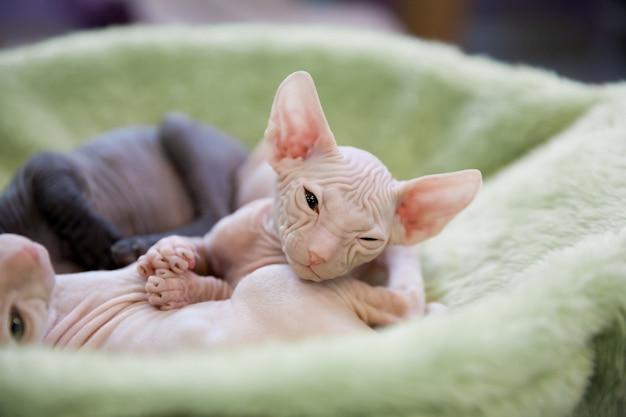 Weiße und graue junge sphynxkatzen, die auf hellgrünem teppich schlafen
