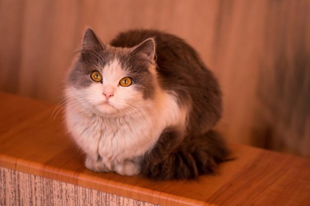 Weiße und graue katze, neugieriges schauen des kätzchens mit enormen augen