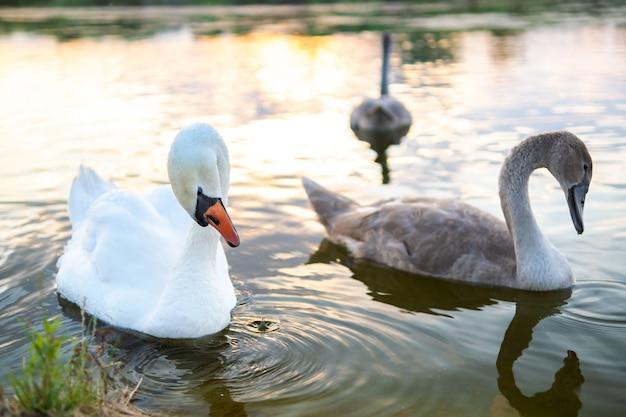 Weiße und graue schwäne schwimmen im sommer auf dem wasser des sees.