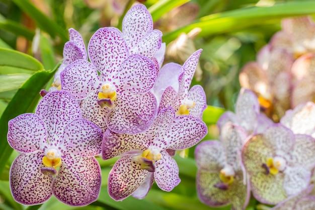 Weiße und lila orchidee, vanda.