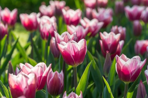 Weiße und purpurrote tulpen in einem garten