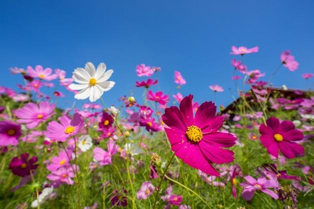 Weiße und rosa kosmosblume im garten, honigbiene, die blütenstaub auf weißem kosmos florida sammelt