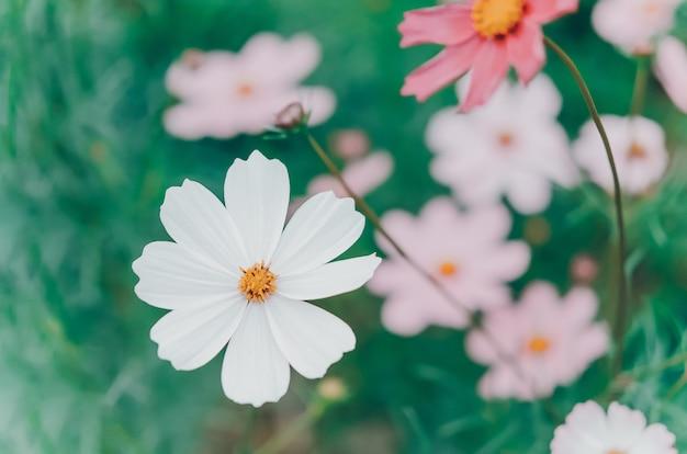 Weiße und rosa kosmosblume