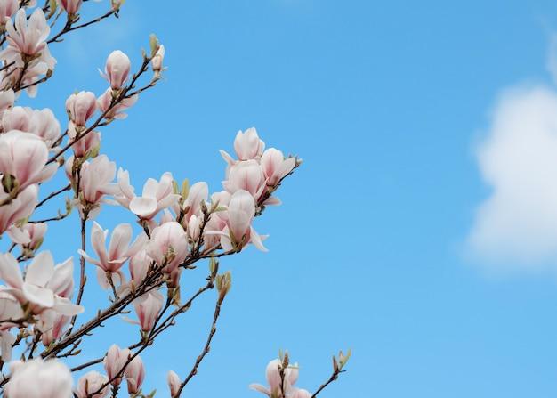 Weiße und rosa magnolienblüten auf dem brunch gegen blauen himmel im sonnigen frühlingstag
