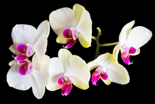 Weiße und rosa orchideen auf schwarzem hintergrund isoliert