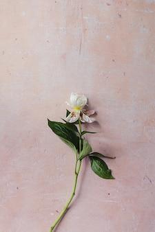 Weiße verwelkte pfingstrose mit grünen blättern auf einem rosafarbenen, gealterten betonhintergrund flach.