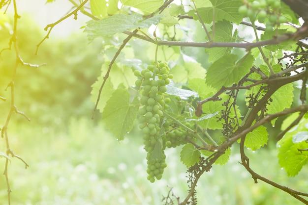 Weiße weinrebe am zweig mit tautropfen nach dem regen am baum und blätter im weinberg,