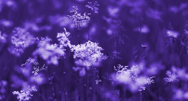 Weiße wildblumen bei sonnenaufgang, natürlicher herbsthintergrund in den blauen tönen, fallnaturlandschaft