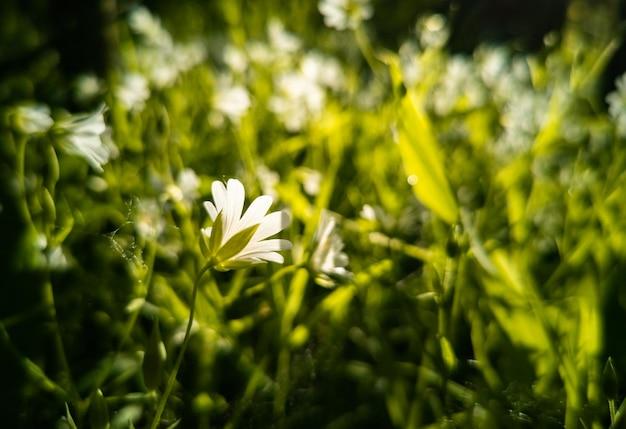 Weiße wildblumen im grünen im sonnenlicht nahaufnahme kreativer fokus