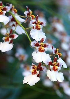 Weiße wilde orchideenblume, oncidium