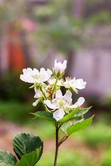 Weiße wilde raspberrie-blume auf dem busch im wald