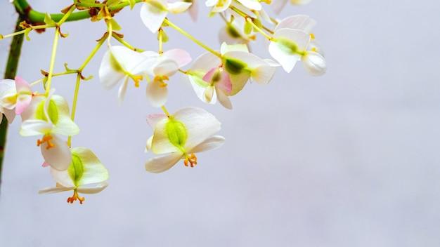 Weiße zarte blumen der begonie auf hellem hintergrund