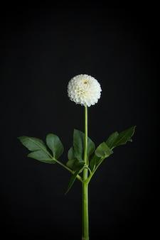 Weiße zerbrechliche dahlienblume lokalisiert auf schwarzem hintergrund, grußkarte