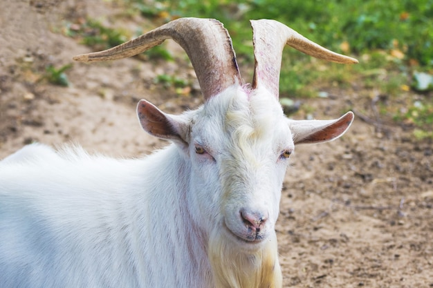Weiße ziege mit großen hörnern in der natur