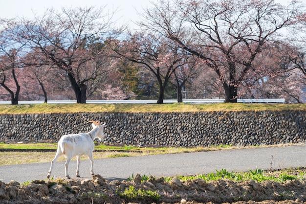 Weiße ziege zu fuß auf der straße mit kirsch-sakura-baum in matsumoto, japan. nutztier in der natur.