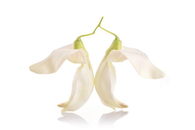 Weißer agastablumen-, sesban- oder gemüsekolibri lokalisiert auf weiß
