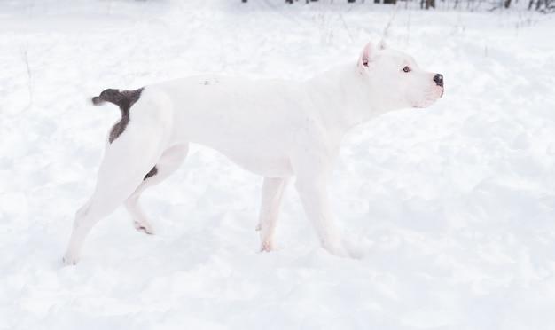 Weißer amerikanischer bulldoggenwelpe, der im winterwald steht. hund im schnee. hochwertiges foto