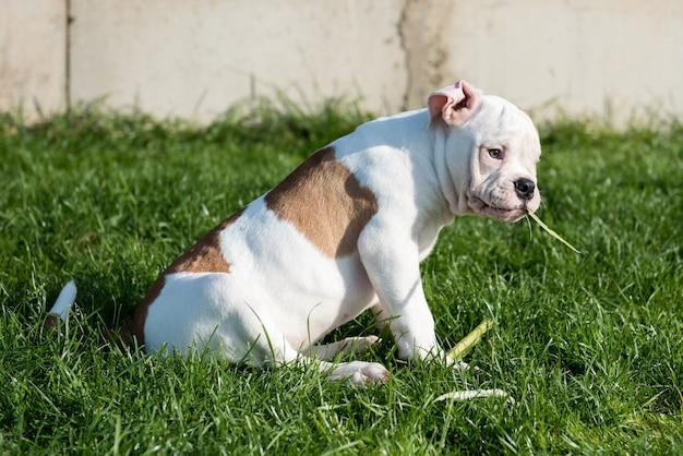 Weißer amerikanischer bulldoggenwelpe frisst mais auf natur