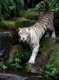 Weißer bengal-tiger auf flussbank