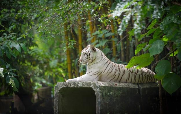 Weißer bengal-tiger, der im dschungel stillsteht